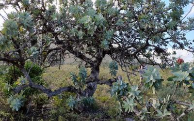 Waboom Protea at Bonniedale